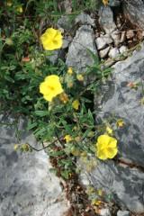 fleurs croates.jpg