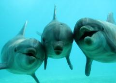 8grand dauphin.jpg