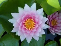 fleur de lotus..jpg