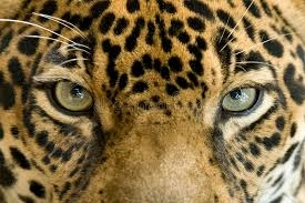 oeil du jaguar3.jpg